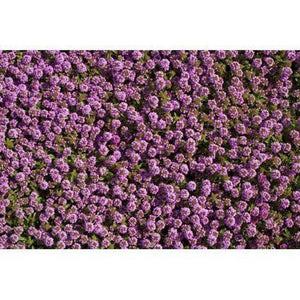 Rockery / Ground Cover flowers