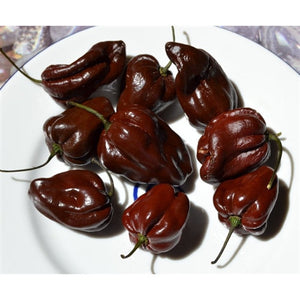 CHILLI 'Habanero Chocolate' - Boondie Seeds