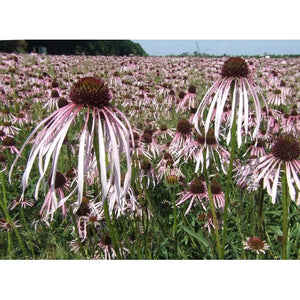 Echinacea Pallida - Pale Purple Coneflower - Boondie Seeds