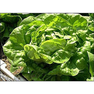 LETTUCE 'Green Butterhead' - Boondie Seeds
