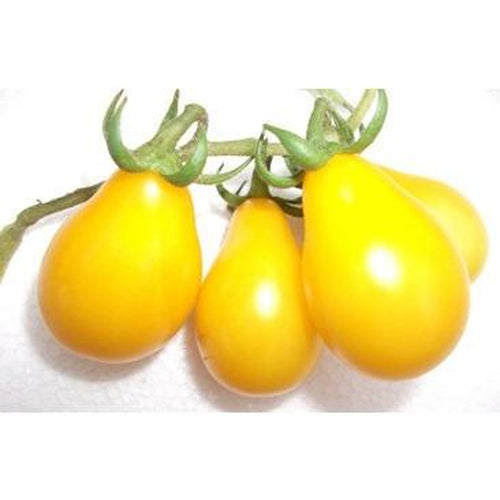 TOMATO 'Beams Yellow Pear'