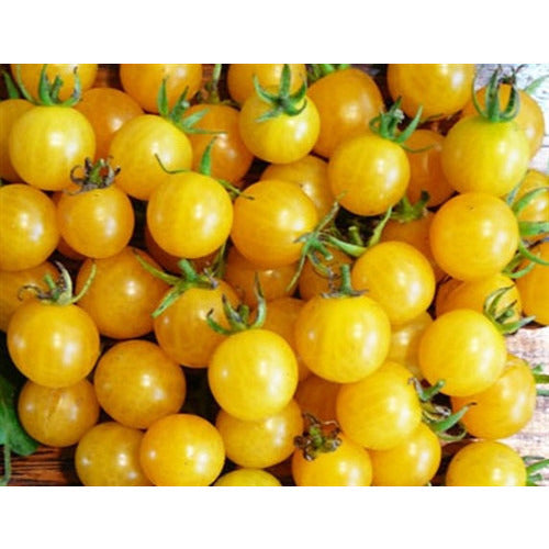 TOMATO 'Yellow Cherry Honeybee'