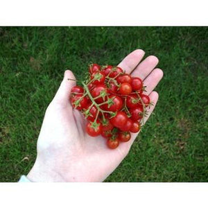 TOMATO 'Sweetie' / 'Wild Sweety' - Boondie Seeds
