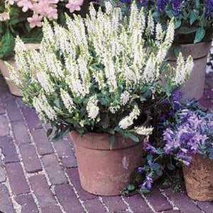 SALVIA 'White Victory' - Boondie Seeds