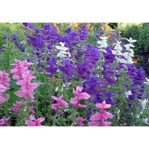 Salvia 'Tricolour Mix' - Boondie Seeds