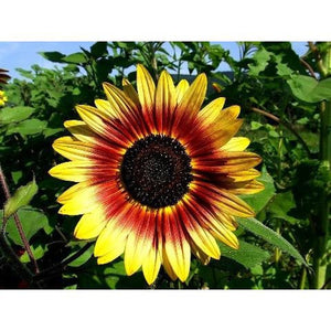 SUNFLOWER 'Solar Flash' - Boondie Seeds