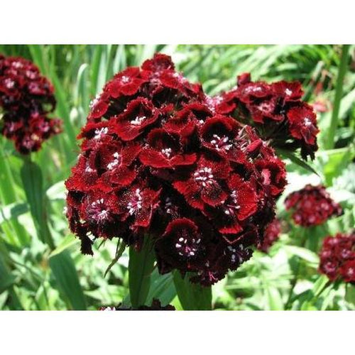 Sweet William / Dianthus / Pinks  'Scarlet Beauty'