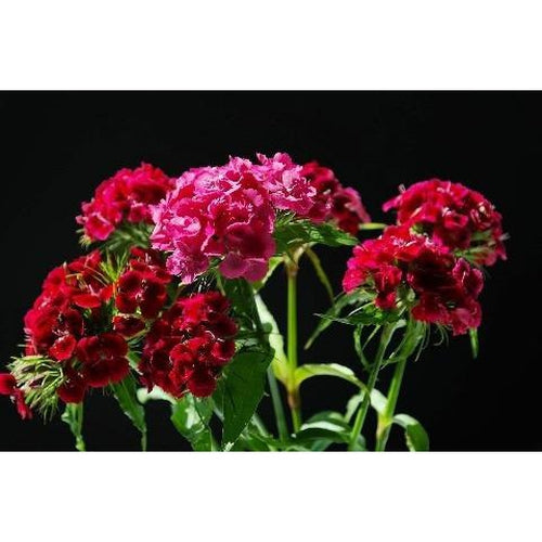 Sweet William / Dianthus / Pinks  'Single Standard Mixed'