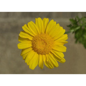 EDIBLE CHRYSANTHEMUM / Garland Chrysanthemum Serrated leaf / Glebionis coronaria - Boondie Seeds
