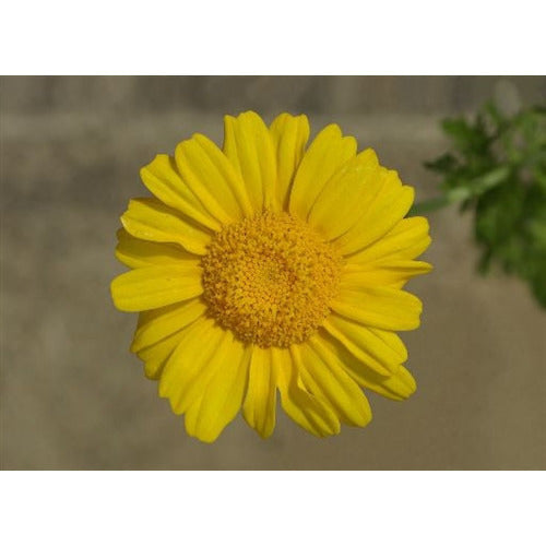 EDIBLE CHRYSANTHEMUM / Garland Chrysanthemum Serrated leaf / Glebionis coronaria seeds