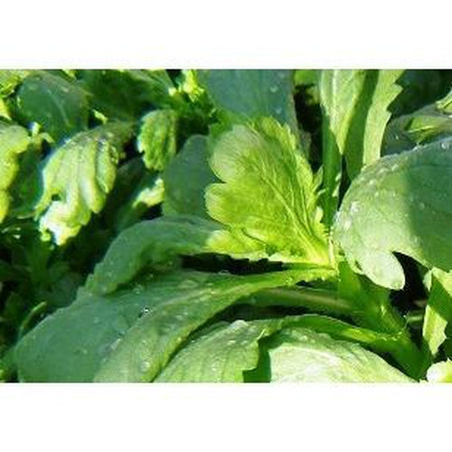 EDIBLE CHRYSANTHEMUM / Broad Leaf Chrysanthemum / Tong Ho / Shigiku / Garland - Boondie Seeds