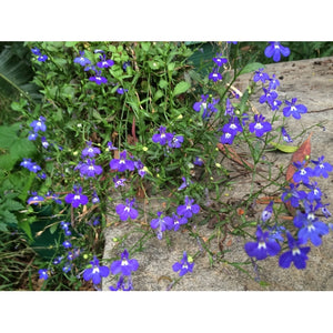 LOBELIA 'Sapphire' Winter flowering - Boondie Seeds