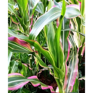 CORN / MAIZE 'Striped Japonica' *RARE* seeds
