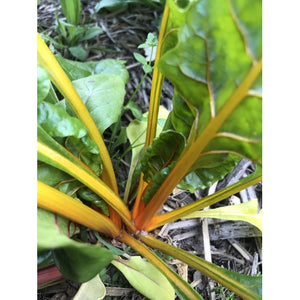 SILVERBEET / CHARD 'Orange Fantasia' - Boondie Seeds