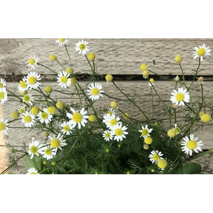 CHAMOMILE 'German' - Boondie Seeds