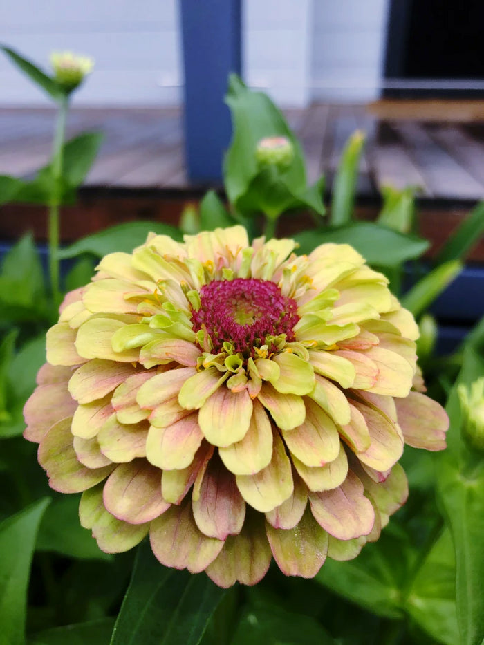 Zinnia 'Lime Queen Blush' RARE