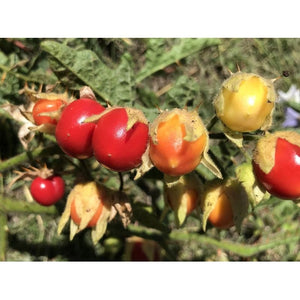 LITCHI TOMATO BERRY / Fire and Ice plant seeds