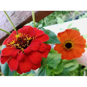 ZINNIA 'Oriole - Orange + Gold