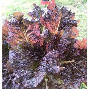 Lettuce 'Ruby Red'
