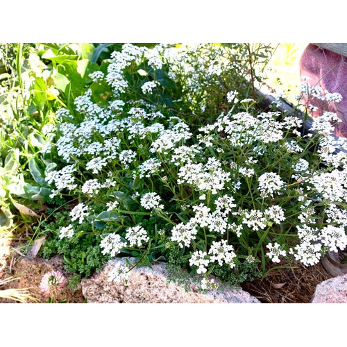ROCKET CANDYTUFT Empress White