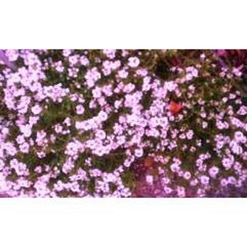 ALYSSUM 'Rosie O'Day' - Boondie Seeds