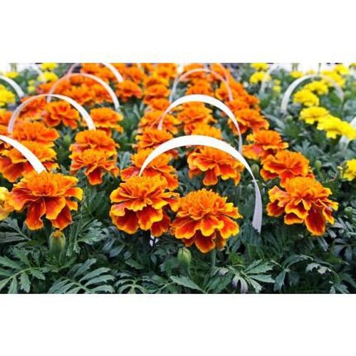 FRENCH MARIGOLD - Boondie Seeds