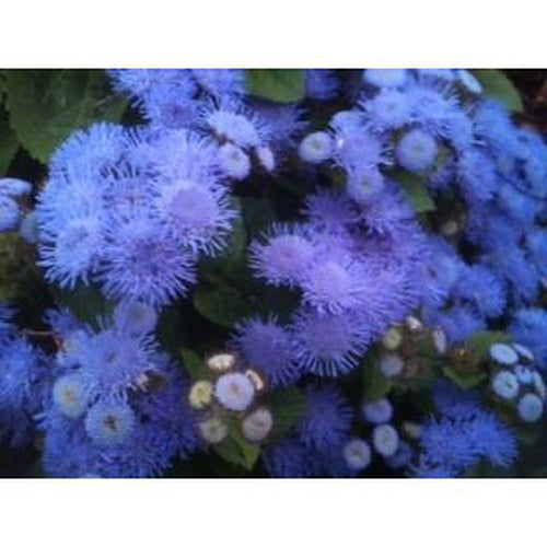 AGERATUM 'Blue' dwarf border flower - Boondie Seeds