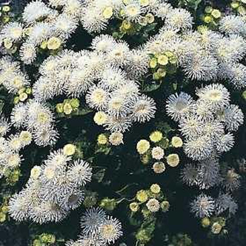 AGERATUM 'White' 150 seeds - Boondie Seeds