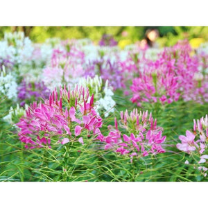 SPIDER FLOWER / CLEOME 'Fountain Mix' seeds