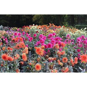 DAHLIA 'Cactus Flowered Mix' - Boondie Seeds
