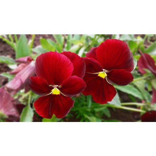 VIOLA 'Arkwright Ruby' / pansy