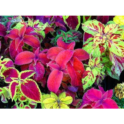 COLEUS 'Rainbow Improved Mix' seeds