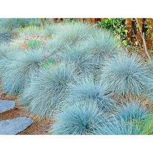 Fescue 'Blue Varna' - Boondie Seeds