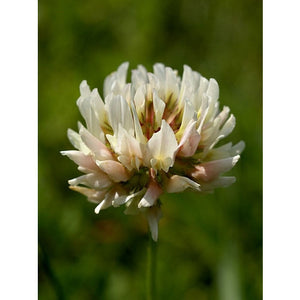 White CLOVER - Green Manure / Beneficial Bug attracting / Lawn Grass - Boondie Seeds