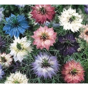NIGELLA / Love in a Mist 'Persian Jewels Mix' - Boondie Seeds