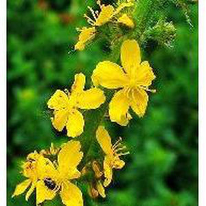 COMMON AGRIMONY / Sticklewort - Boondie Seeds