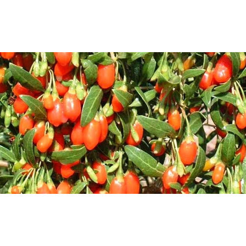GOJI BERRY / Chinese Wolfberry - Boondie Seeds