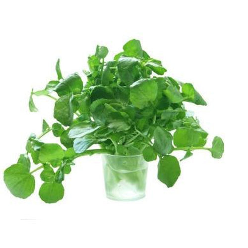AMERICAN UPLAND CRESS / LAND CRESS - Sprouts