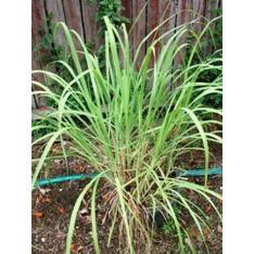 LEMON GRASS 'East Indian' - Boondie Seeds
