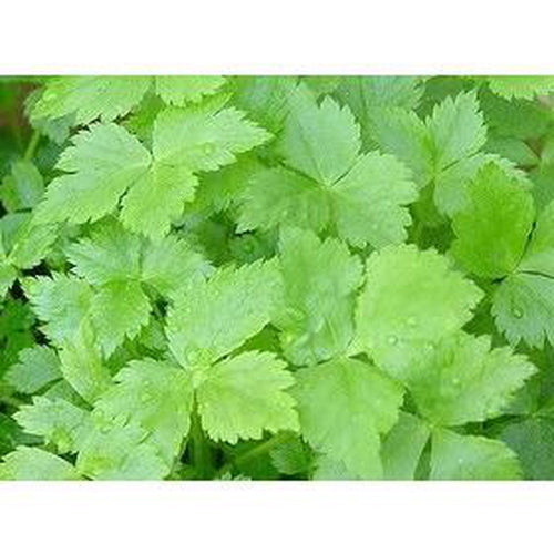 MITSUBA / JAPANESE PARSLEY