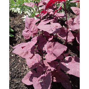 ATRIPLEX / ORACH / MOUNTAIN SPINACH 'Red Leaf' - Boondie Seeds