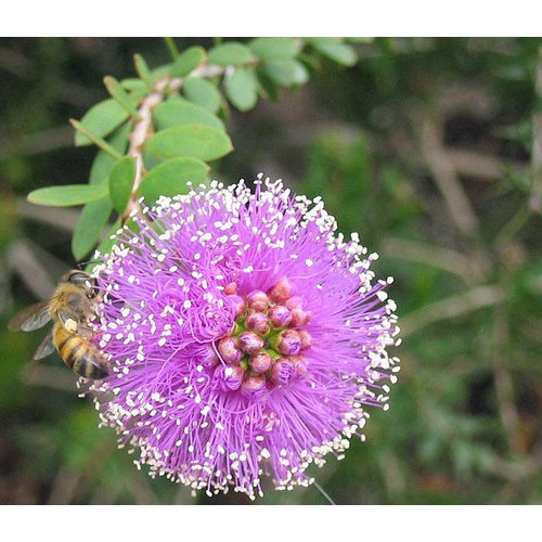 SHOWY HONEY MYRTLE / Melaleuca nesophila *NATIVE*