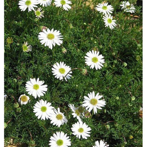 SWAN RIVER DAISY / BRACHYSCOME 'White Splendour' *NATIVE* - Boondie Seeds