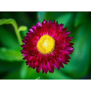 PAPER DAISY 'Purple Red' / STRAWFLOWER / EVERLASTING DAISY - Boondie Seeds