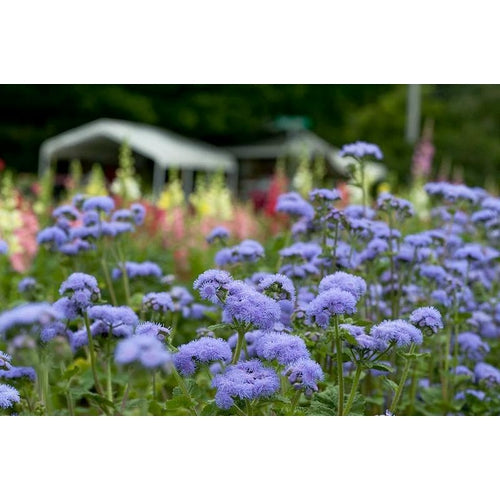 AGERATUM 'Growers Market Blue'