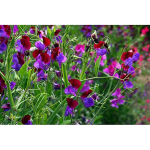SWEET PEA 'Old Spice Mix' - Boondie Seeds