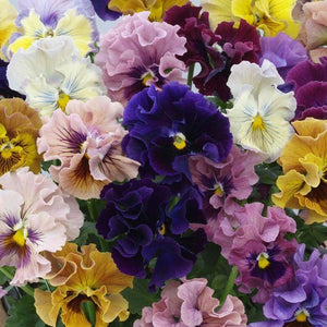 VIOLA 'Rococo Frilled Mix' / pansy seeds