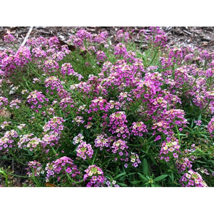 ALYSSUM 'Royal Carpet' - Boondie Seeds