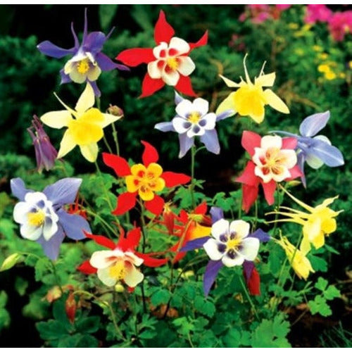 AQUILEGIA 'McKana Giants Mix' / Columbine / Grannys Bonnet - Boondie Seeds