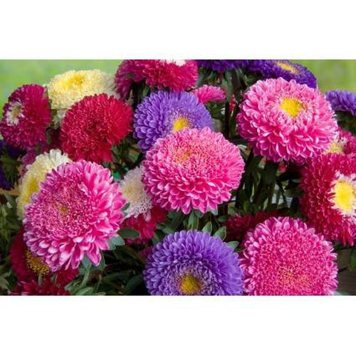 ASTER 'Giant Perfection Mix'